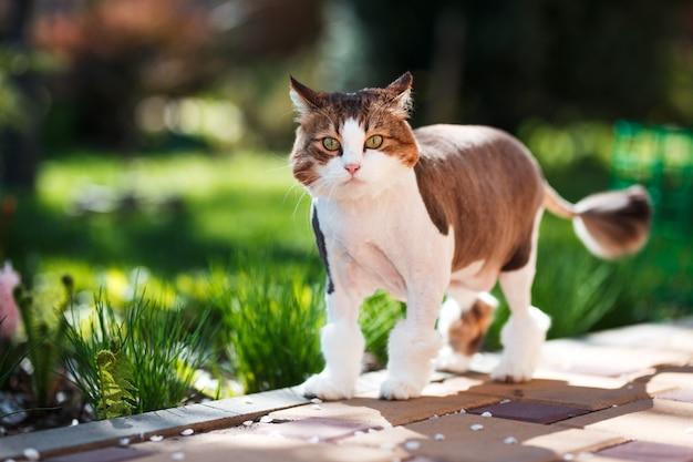 Kot domowy spacery na dziedzińcu w słoneczny wiosenny dzień.