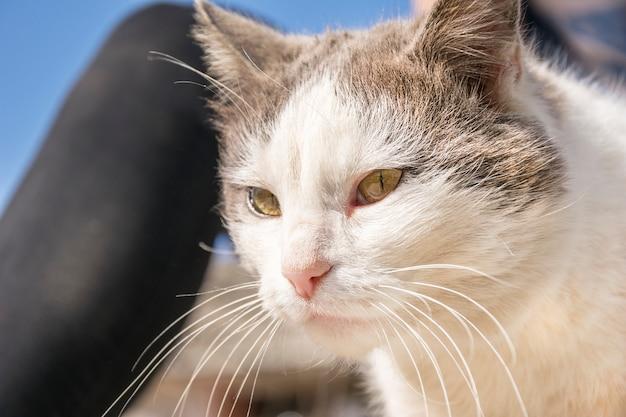 Kot domowy z ładnymi żółtymi oczami