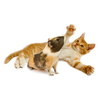 Kot i gwinea na białym tle