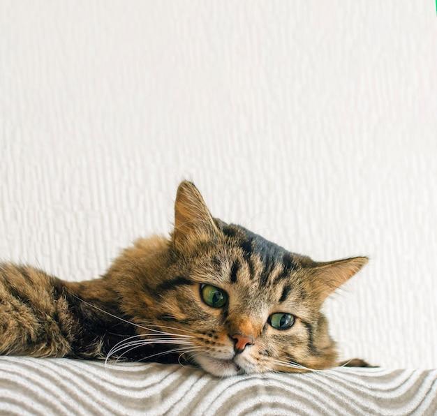 Kot i kopia przestrzeń. kot odpoczywa na sofie. rasa syberyjska.