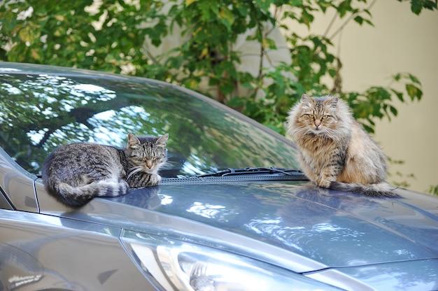 Kot i kot siedzi na masce samochodu