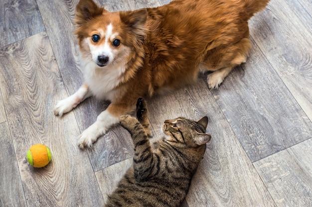 Kot i pies bawią się razem w mieszkaniu z piłką. zbliżenie portret.