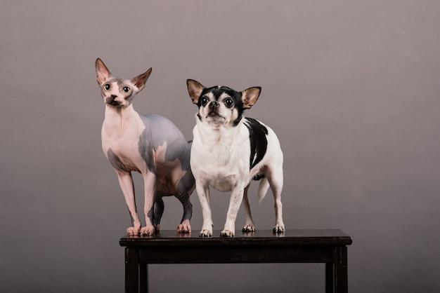 Kot i pies razem przed szarym tłem w studio, sfinks kanadyjski, chihuahua