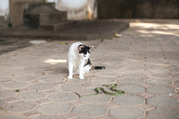 Kot i wąż koh samui tajlandia