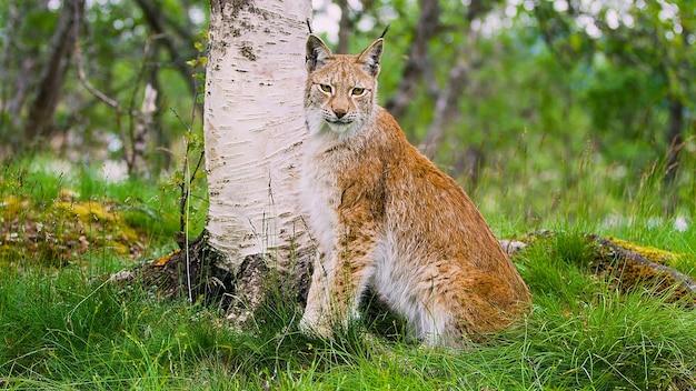 Kot leśny