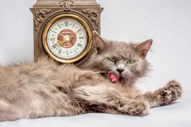 Kot leży i myje się w pobliżu zegara. zegar pokazuje, że czas się obudzić i uporządkować_