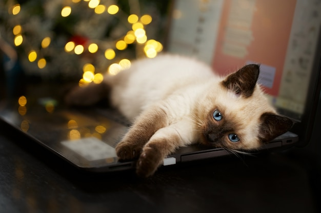 Kot leży na komputerze z klawiaturą. shallow dof