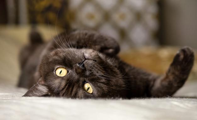 Kot leży na łóżku na plecach z podniesionym brzuchem