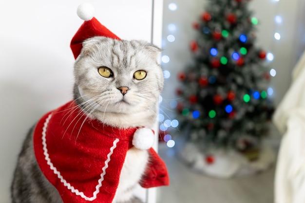 Kot ma na sobie czapkę mikołaja. na tle choinki. rasowy szkocki fałd wygląda śmiesznie.