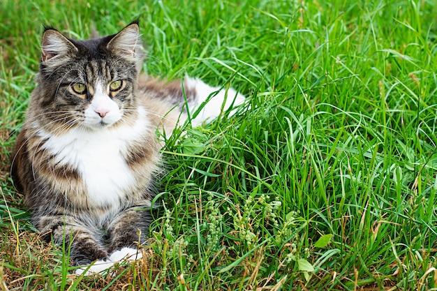 Kot maine coon leży na zielonych trawnikach