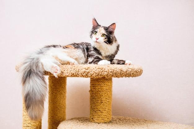 Kot maine coon z długim, puszystym ogonem leży na drapaku pod jasną ścianą