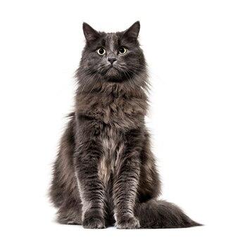 Kot mieszany z głównym szopem