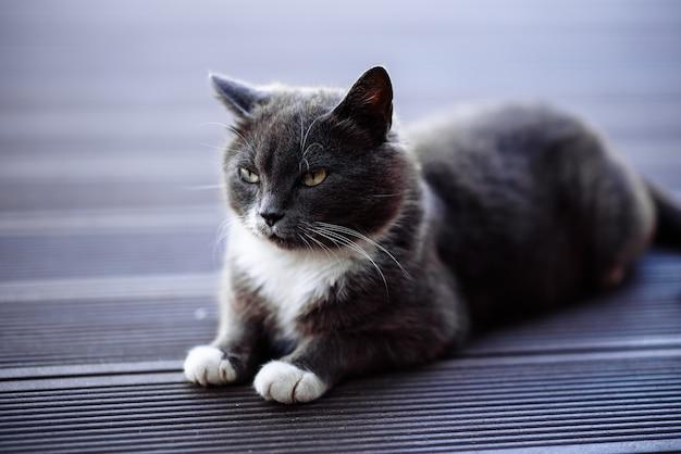 Kot na podłodze szary kot na drewnianej podłodze
