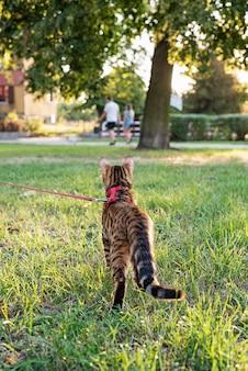 Kot na smyczy spaceruje ulicą o zachodzie słońca.
