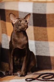 Kot orientalny krótkowłosy brązowy