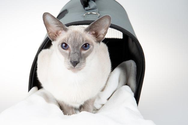Kot orientalny krótkowłosy w szarej torbie na białym