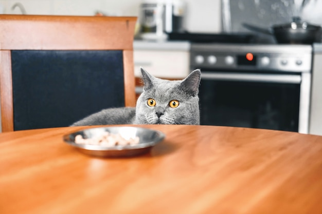 Kot patrzy na jedzenie, kot czuwa nad jedzeniem, chytry piękny brytyjski szary kot, zbliżenie, kot wychodzi spod stołu
