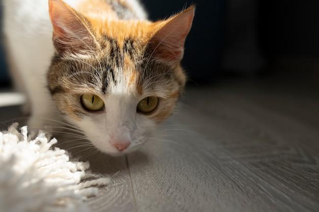 Kot patrzy w kamerę. ścieśniać