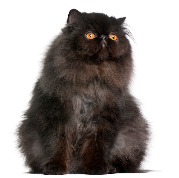 Kot perski, 9 miesięcy,