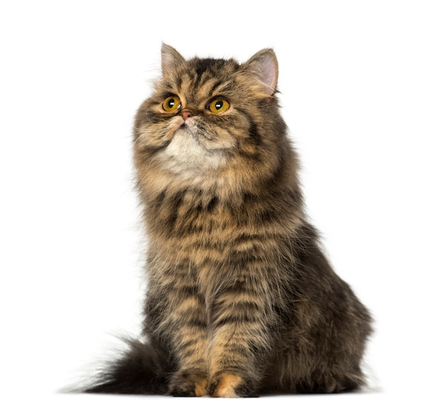 Kot perski siedzi i patrzy w górę