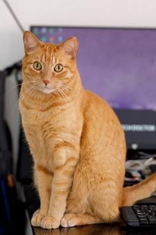 Kot przed komputerem patrzący uważnie w kamerę