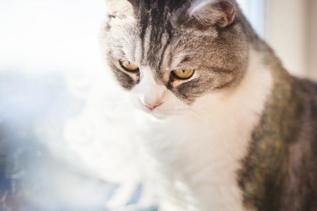 Kot rasy brytyjskiej siedzi na parapecie okna, szary kot i białe łapy