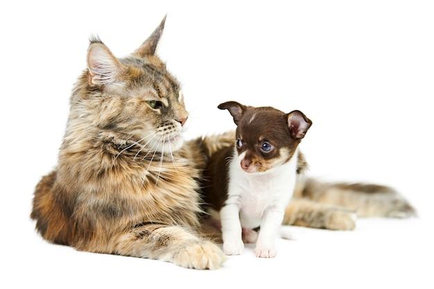 Kot rasy maine coon i szczeniak chihuahua