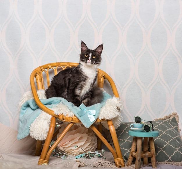 Kot rasy maine coon siedzący na krześle w studio, portret