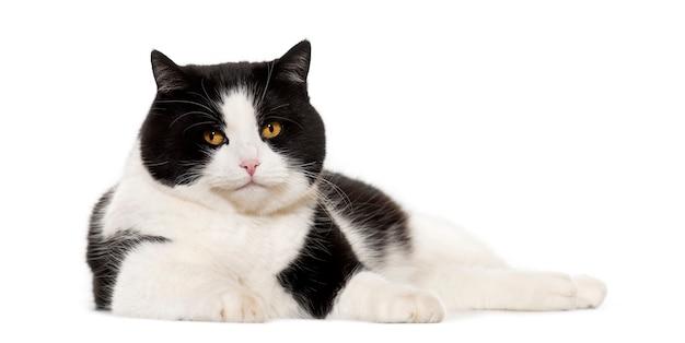 Kot rasy mieszanej leżący na białym tle
