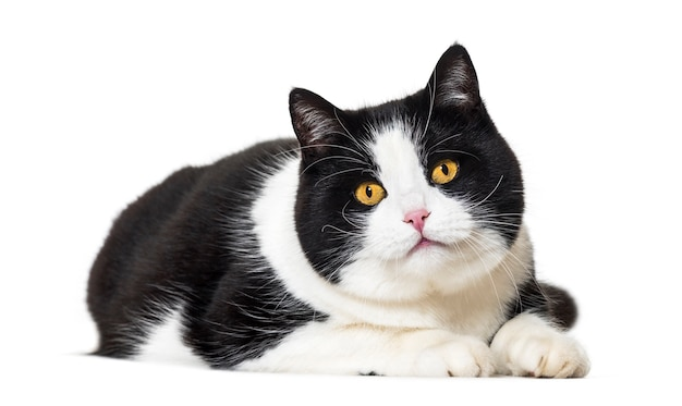 Kot rasy mieszanej leżący z przodu na białym tle
