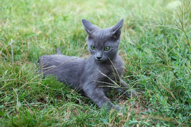 Kot rosyjski niebieski. mały szary, zielonooki kotek rodowodowy siedzi na zielonej trawie