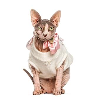 Kot sfinks przebrany na różowo, na białym tle
