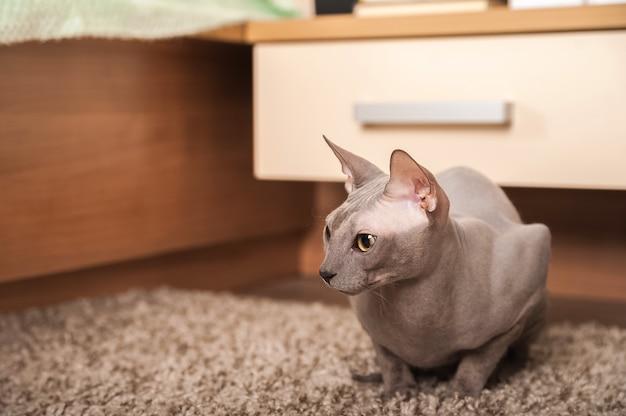 Kot sfinks w domu. zbliżenie portret domowy szary sfinksa kot.