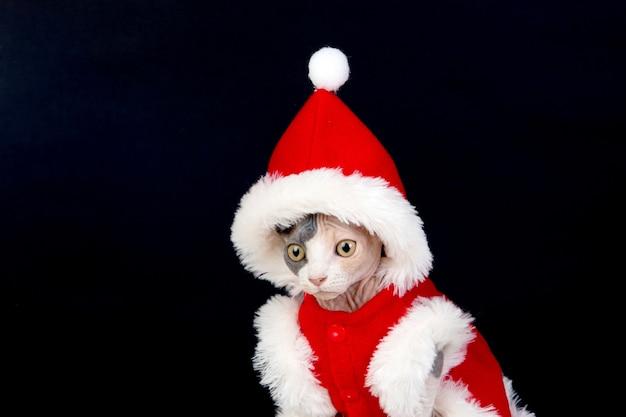 Kot sfinks z ubrania świąteczne na białym tle na białym tle