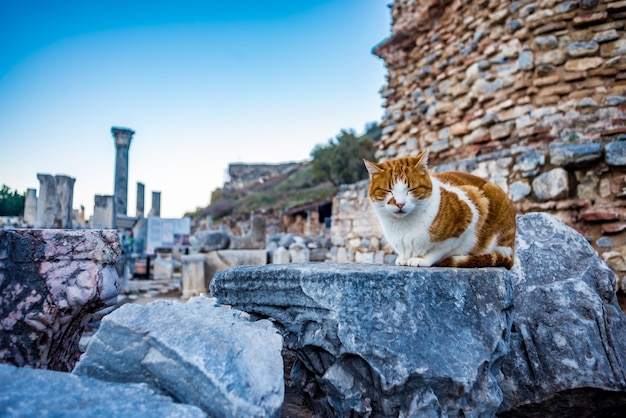 Kot siedzi na ruiny w efezie starożytnego miasta
