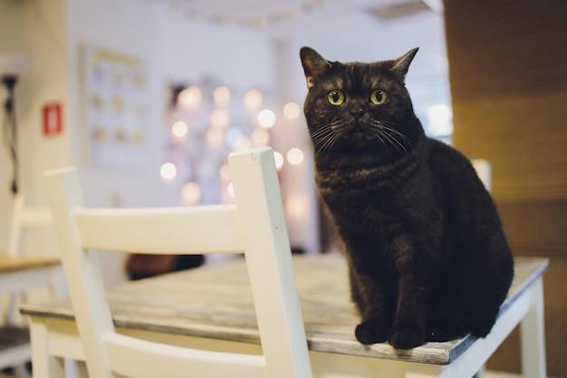 Kot siedzi na stole patrząc w górę. czarny kot. perski. brązowe oczy.