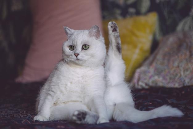 Kot siedzi w zabawnej pozie, myjąc się i liżąc