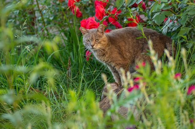Kot spaceruje w pięknym letnim ogrodzie. spacery z kotami w letnim parku
