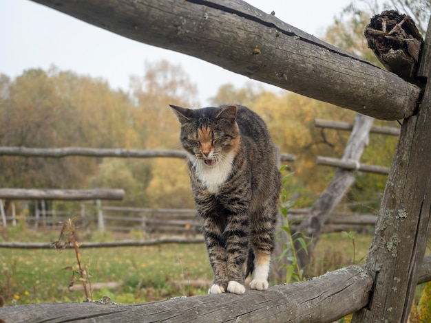Kot stoi na drewnianym płocie i jesienią zaczyna ziewać we wsi