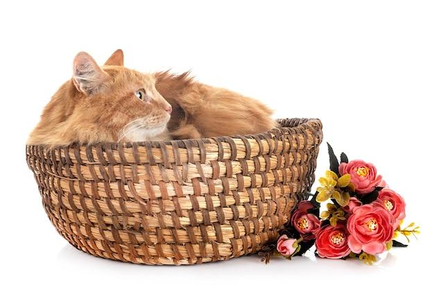 Kot syberyjski przed białym tle