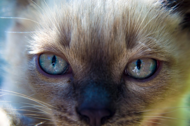 Kot syjamski o niebieskich oczach w słońcu
