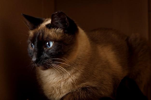 Kot syjamski odpoczywający w kartonowym pudełku zwierzęta w domu