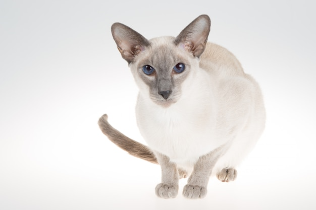 Kot syjamski oriental blue-point. zakończenie portret na bielu