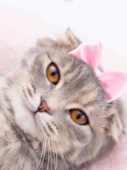 Kot szkocki zwisłouchy z portretem w różowej kokardce