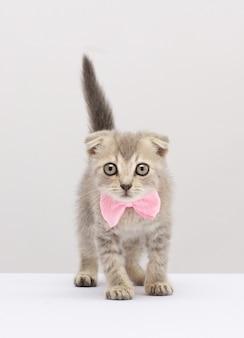 Kot szkocki zwisłouchy z różową kokardką