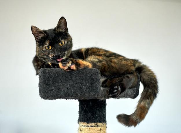 Kot szylkretowy liżący łapę i odpoczywający na drapaku