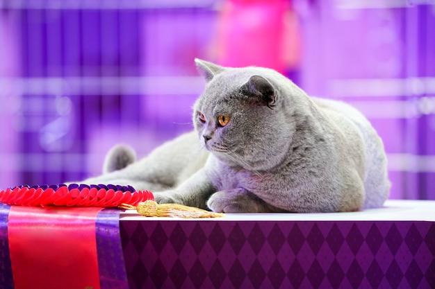 Kot tajski korat z szarymi, żółtymi oczami. jest zwycięzcą konkursu pięknego kota.