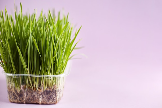 Kot trawa zbliżenie na różowym tle garnek z trawą pszeniczną pożywna taca z domowej trawy pszenicznej