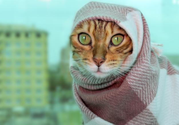 Kot w ubraniach, kot bengalski w ciepłym szalu w kratkę na głowie