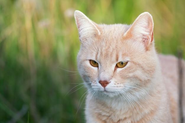 Kot w zielonej trawie. piękny czerwony kot z żółtymi oczami, na zewnątrz.